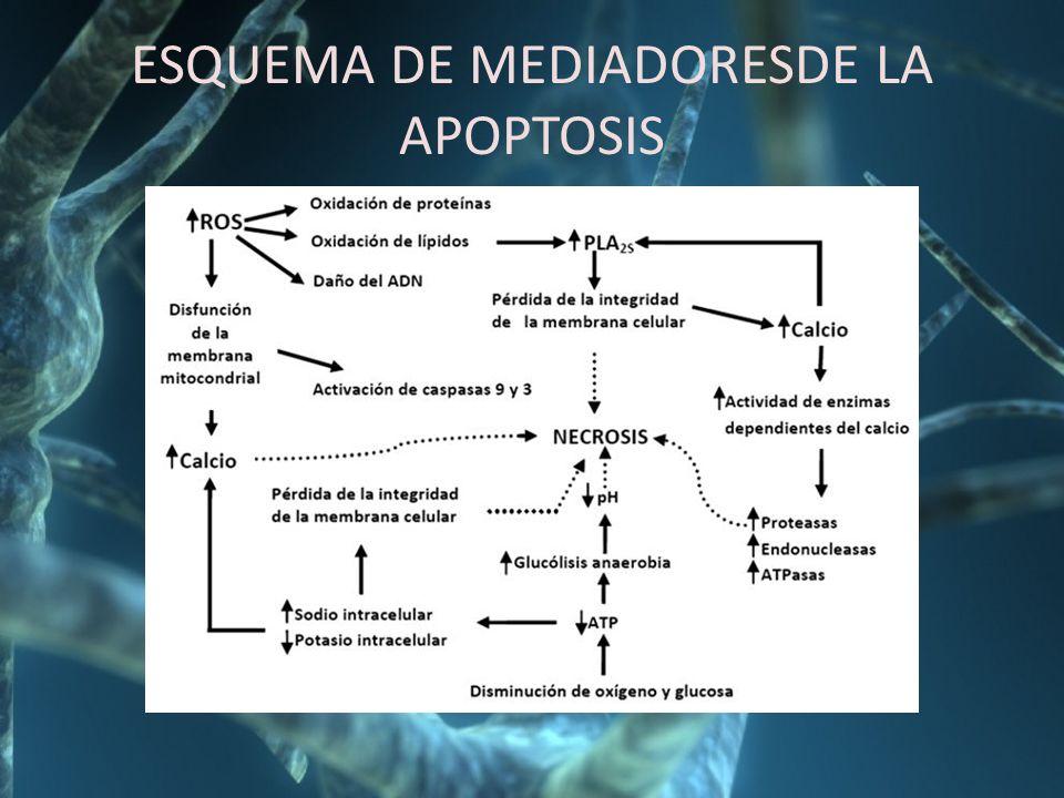 ESQUEMA DE MEDIADORESDE LA APOPTOSIS