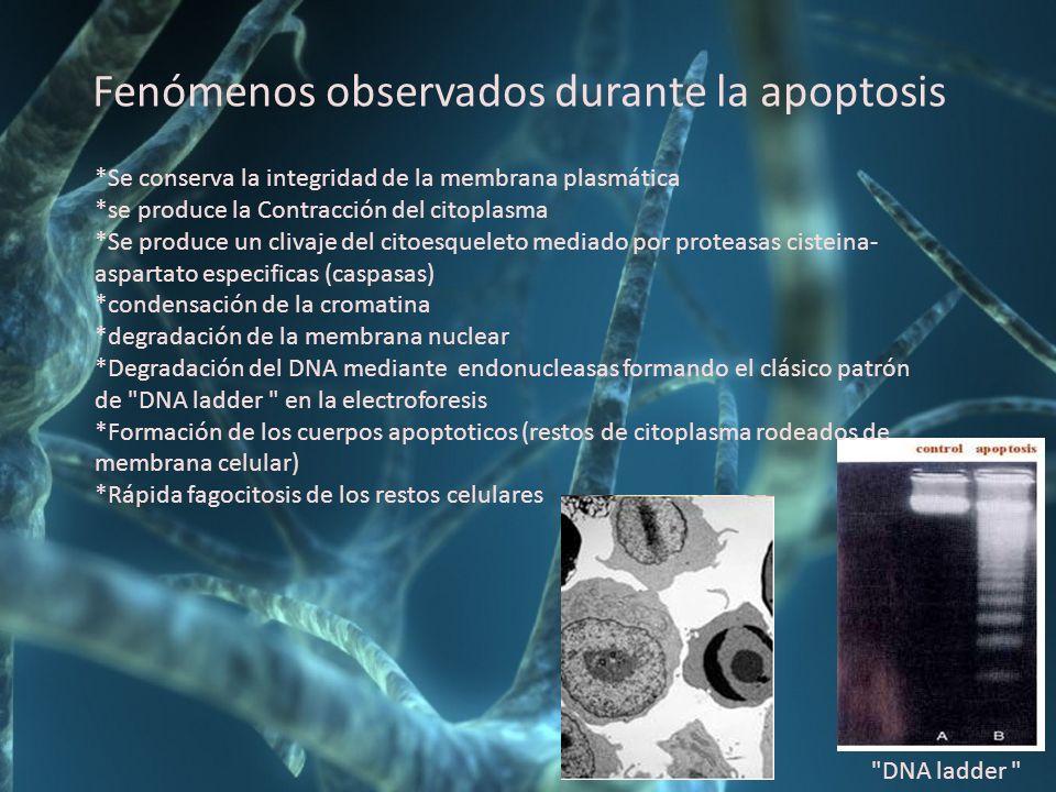 Fenómenos observados durante la apoptosis