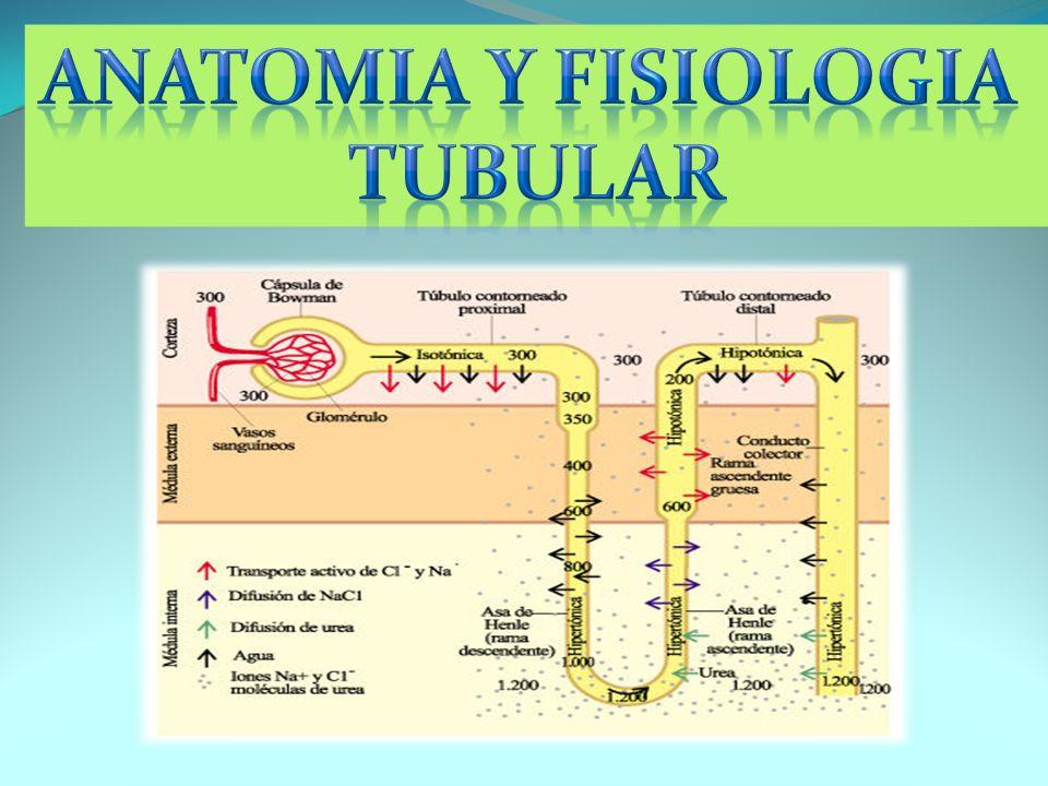 ANATOMIA Y FISIOLOGIA TUBULAR
