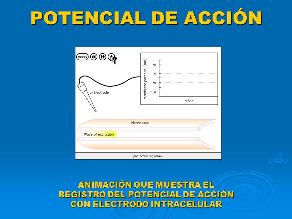 POTENCIAL DE ACCIÓN ANIMACIÓN QUE MUESTRA EL REGISTRO DEL POTENCIAL DE ACCIÓN CON ELECTRODO INTRACELULAR.