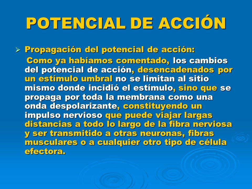 POTENCIAL DE ACCIÓN Propagación del potencial de acción: