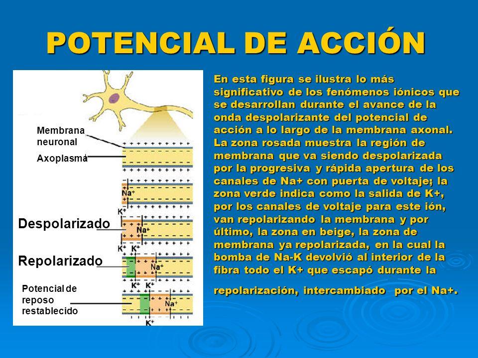 POTENCIAL DE ACCIÓN Despolarizado Repolarizado