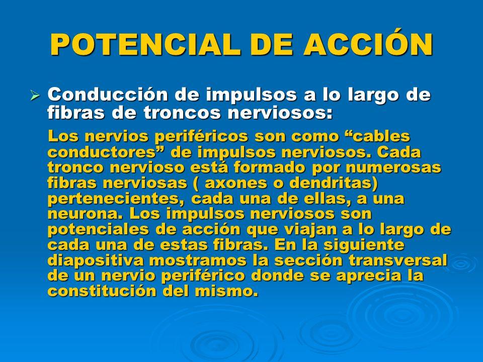 POTENCIAL DE ACCIÓN Conducción de impulsos a lo largo de fibras de troncos nerviosos: