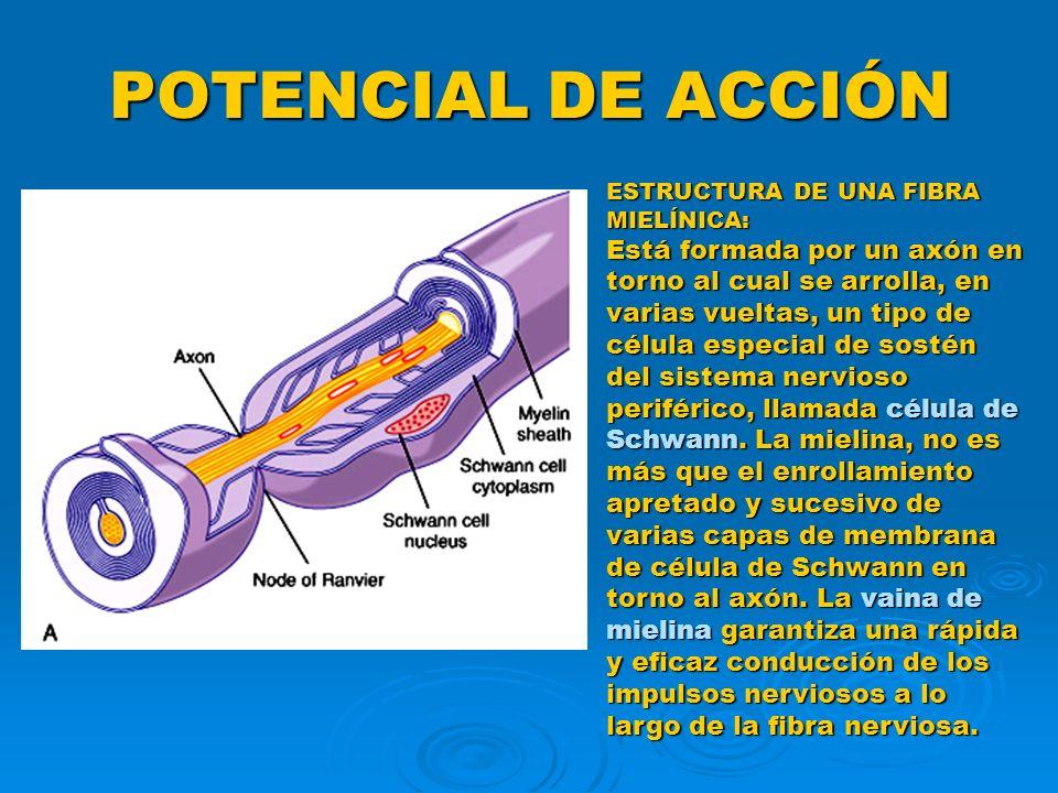 POTENCIAL DE ACCIÓN ESTRUCTURA DE UNA FIBRA MIELÍNICA: