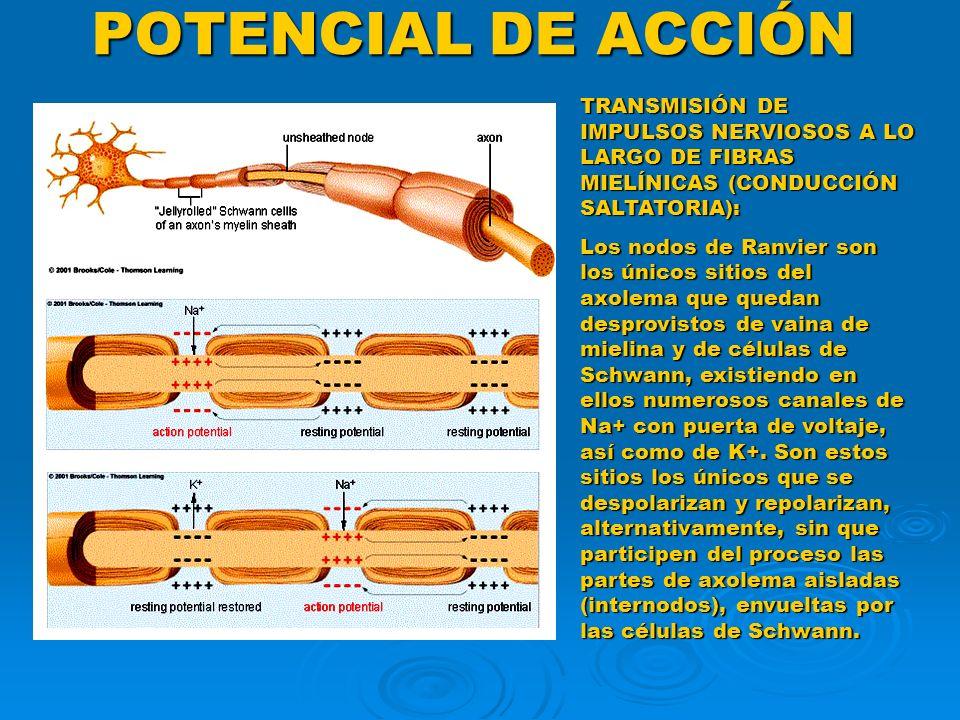 POTENCIAL DE ACCIÓN TRANSMISIÓN DE IMPULSOS NERVIOSOS A LO LARGO DE FIBRAS MIELÍNICAS (CONDUCCIÓN SALTATORIA):