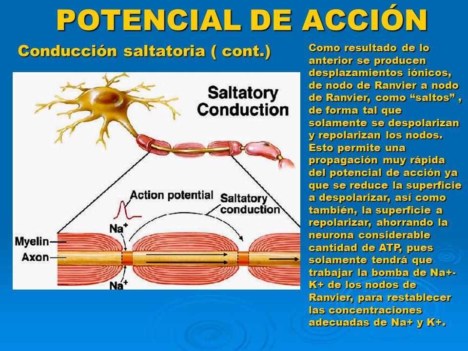 POTENCIAL DE ACCIÓN Conducción saltatoria ( cont.)