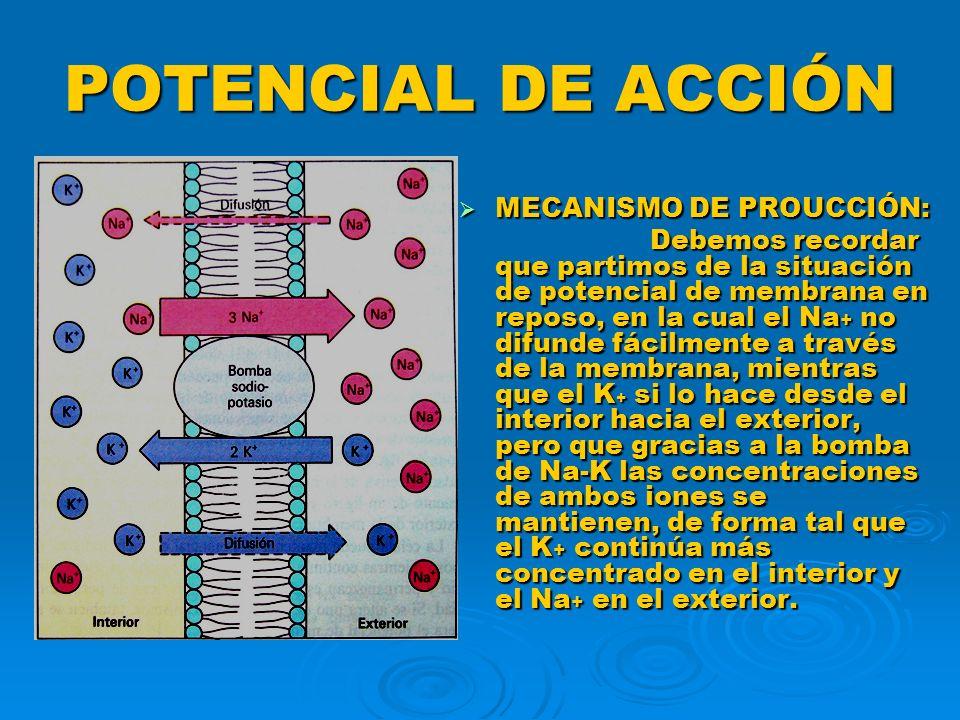 POTENCIAL DE ACCIÓN MECANISMO DE PROUCCIÓN:
