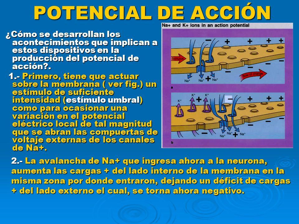 POTENCIAL DE ACCIÓN ¿Cómo se desarrollan los acontecimientos que implican a estos dispositivos en la producción del potencial de acción .