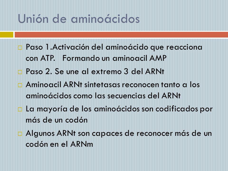 Unión de aminoácidosPaso 1.Activación del aminoácido que reacciona con ATP. Formando un aminoacil AMP.