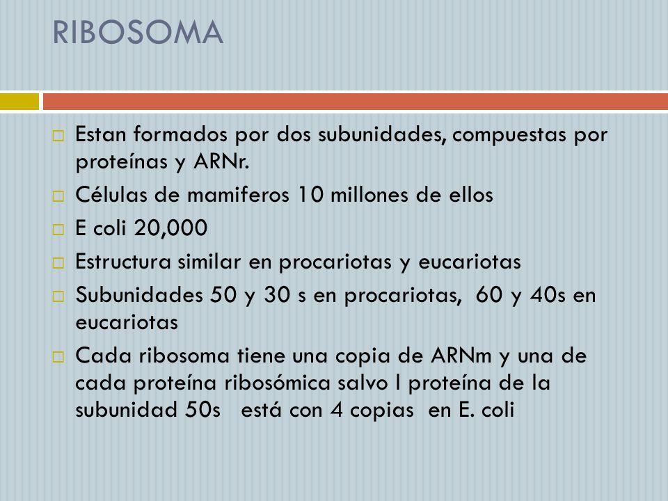 RIBOSOMA Estan formados por dos subunidades, compuestas por proteínas y ARNr. Células de mamiferos 10 millones de ellos.