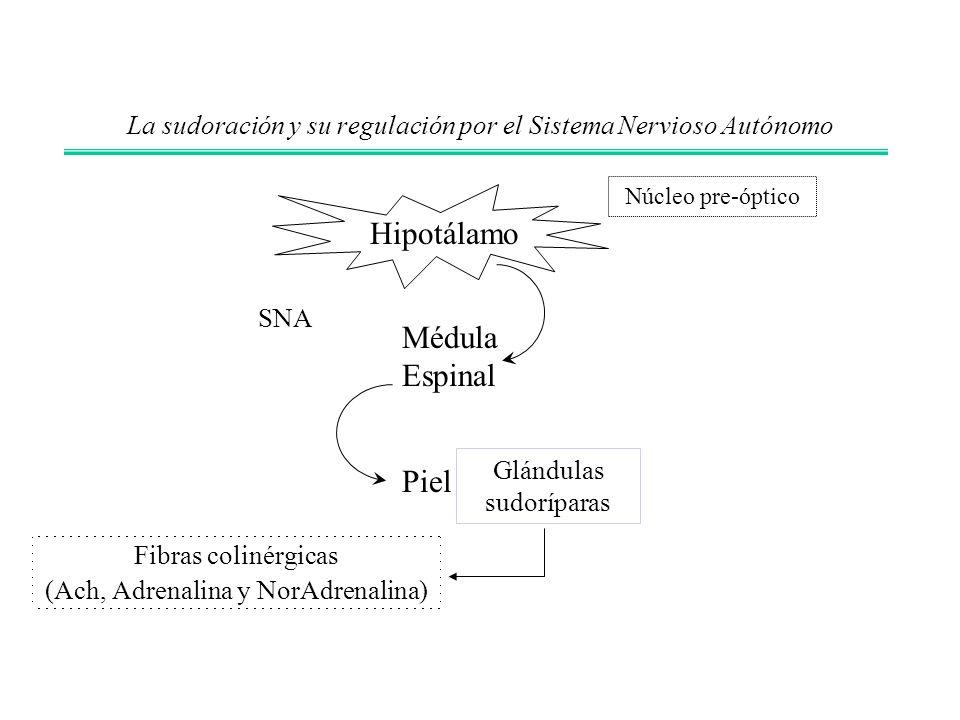 La sudoración y su regulación por el Sistema Nervioso Autónomo