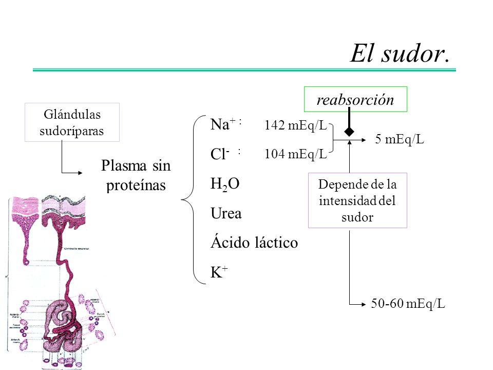 El sudor. reabsorción Na+ : Cl- : H2O Urea Plasma sin proteínas