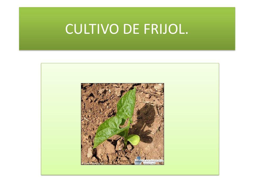 CULTIVO DE FRIJOL.