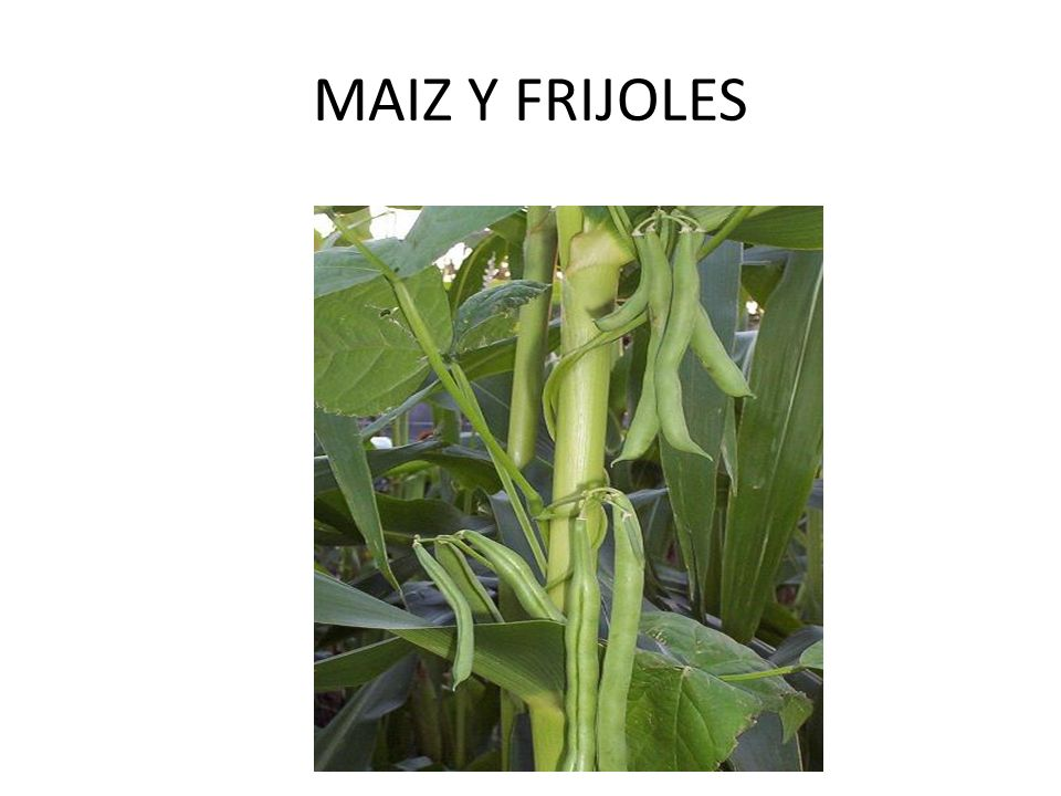 MAIZ Y FRIJOLES