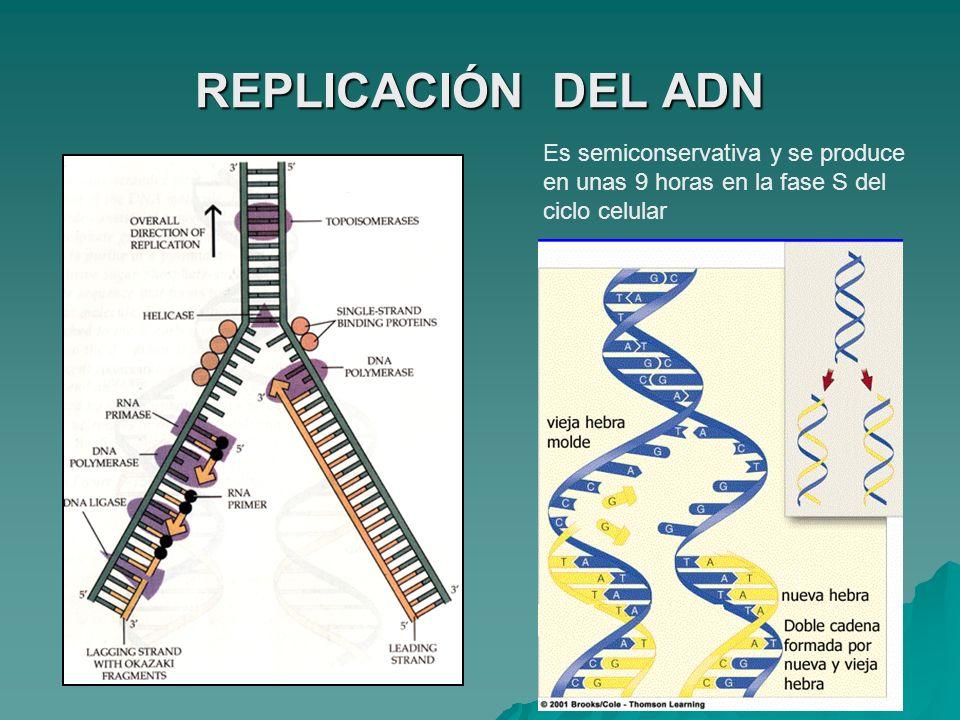 REPLICACIÓN DEL ADN Es semiconservativa y se produce en unas 9 horas en la fase S del ciclo celular.
