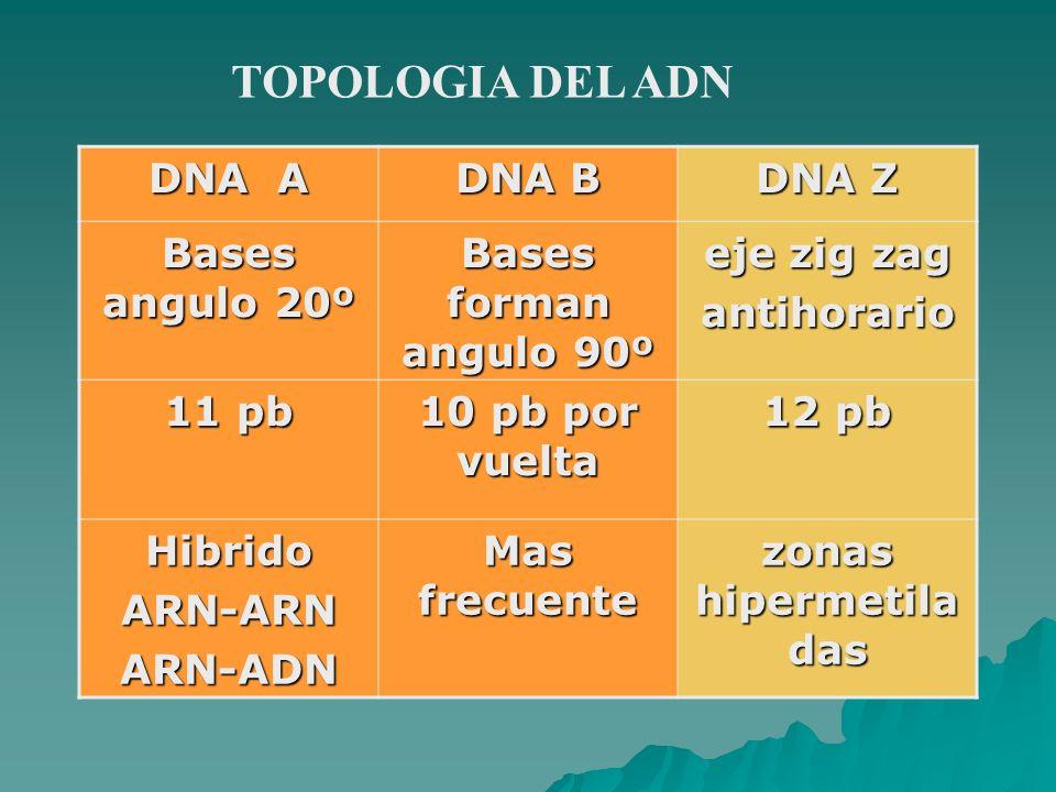 TOPOLOGIA DEL ADN DNA A DNA B DNA Z Bases angulo 20º