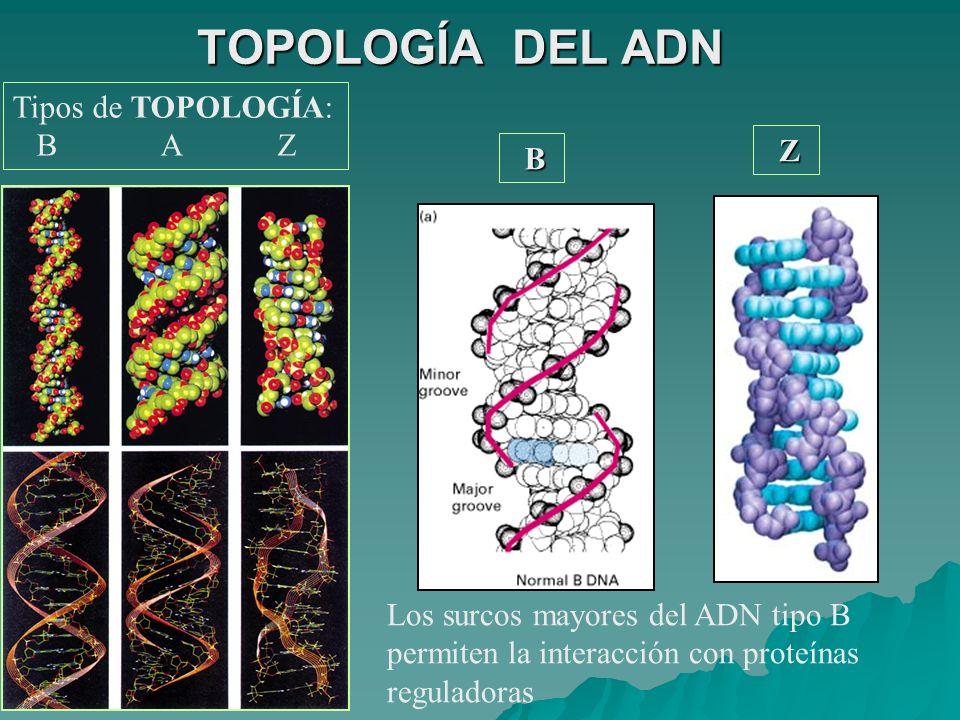 TOPOLOGÍA DEL ADN Tipos de TOPOLOGÍA: B A Z Z B