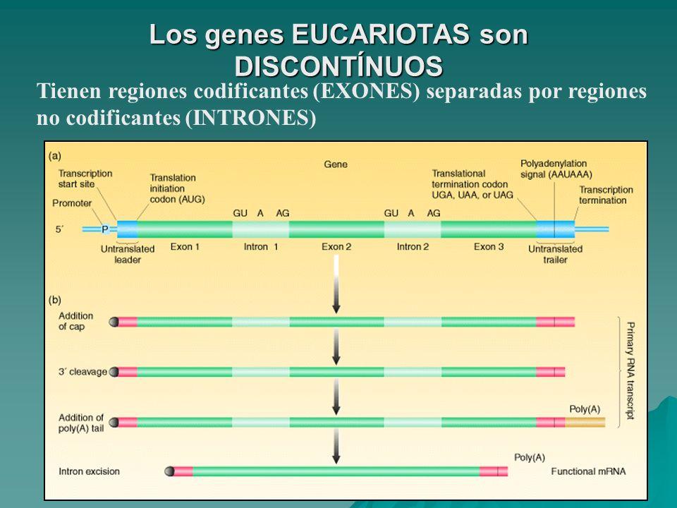 Los genes EUCARIOTAS son DISCONTÍNUOS