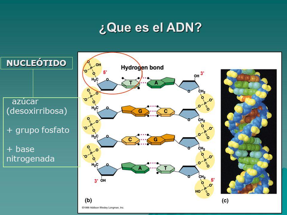 ¿Que es el ADN NUCLEÓTIDO azúcar (desoxirribosa) + grupo fosfato