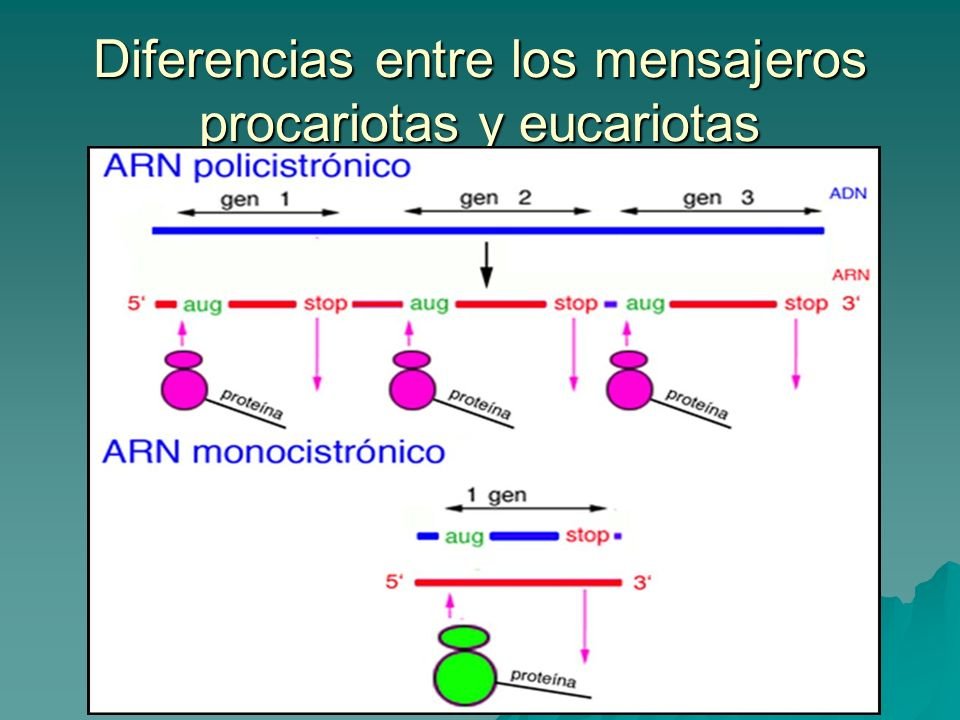 Diferencias entre los mensajeros procariotas y eucariotas