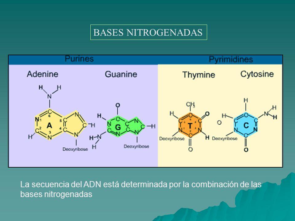 BASES NITROGENADAS La secuencia del ADN está determinada por la combinación de las bases nitrogenadas.