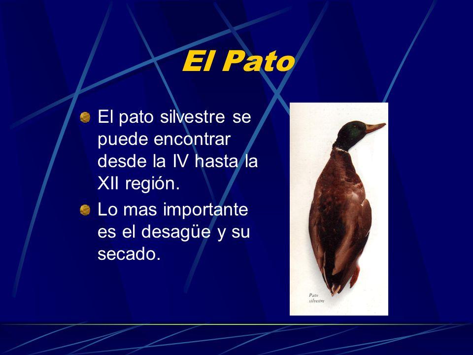 El Pato El pato silvestre se puede encontrar desde la IV hasta la XII región.