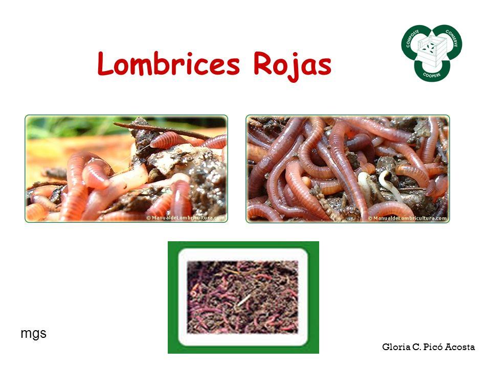 Lombrices Rojas mgs Gloria C. Picó Acosta
