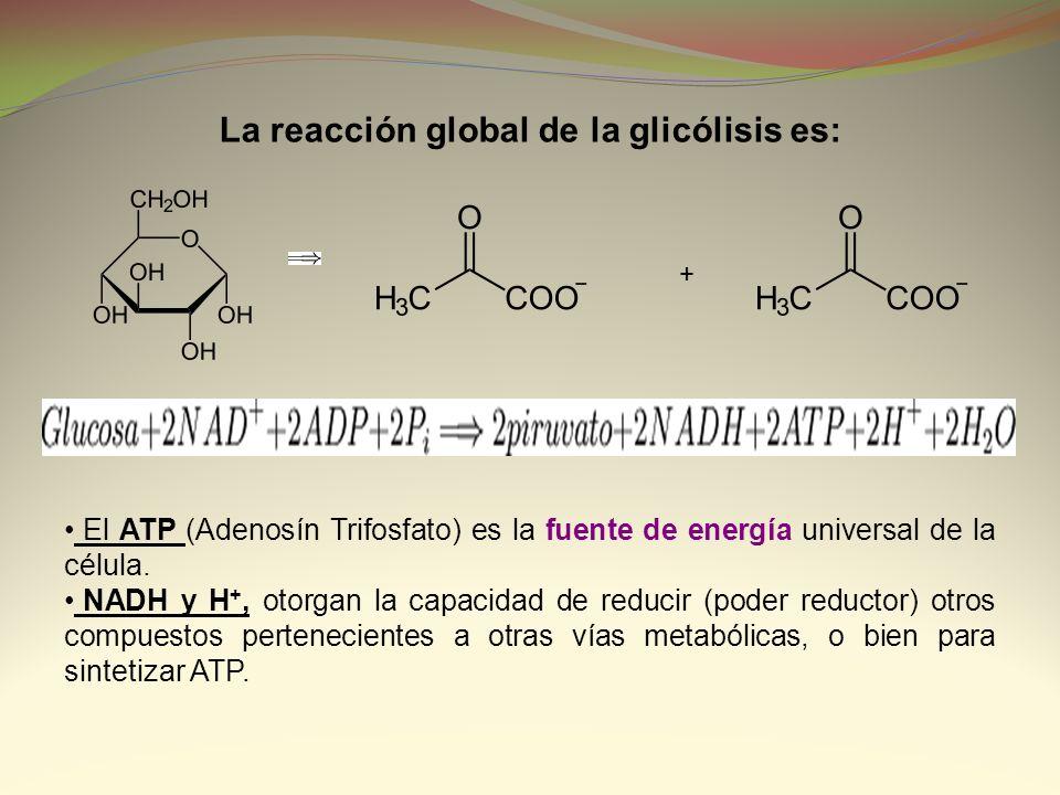 La reacción global de la glicólisis es: