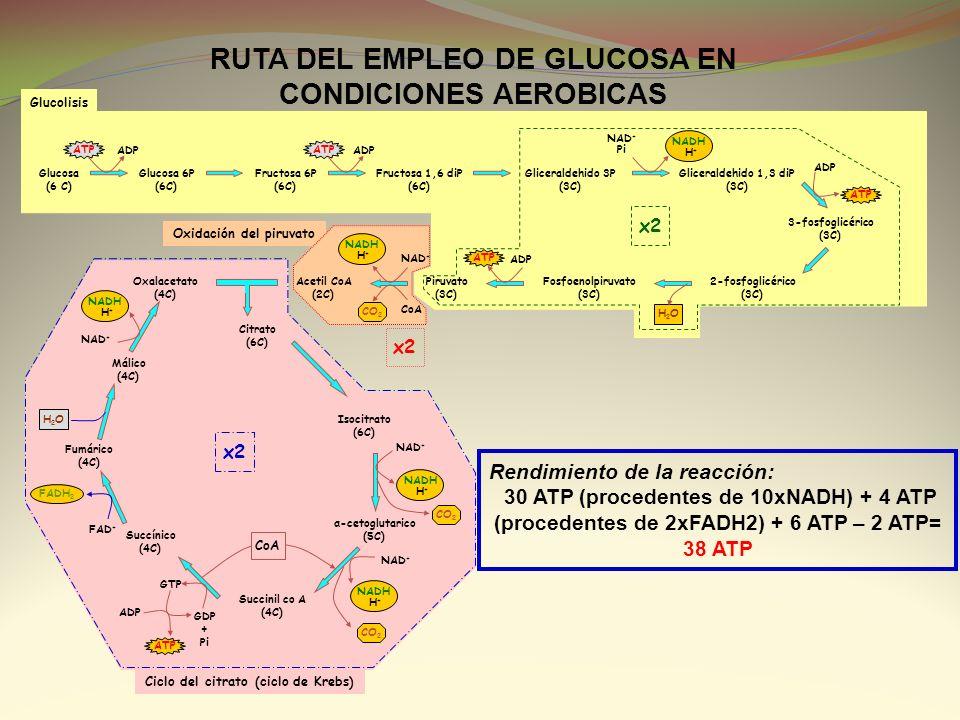 RUTA DEL EMPLEO DE GLUCOSA EN CONDICIONES AEROBICAS