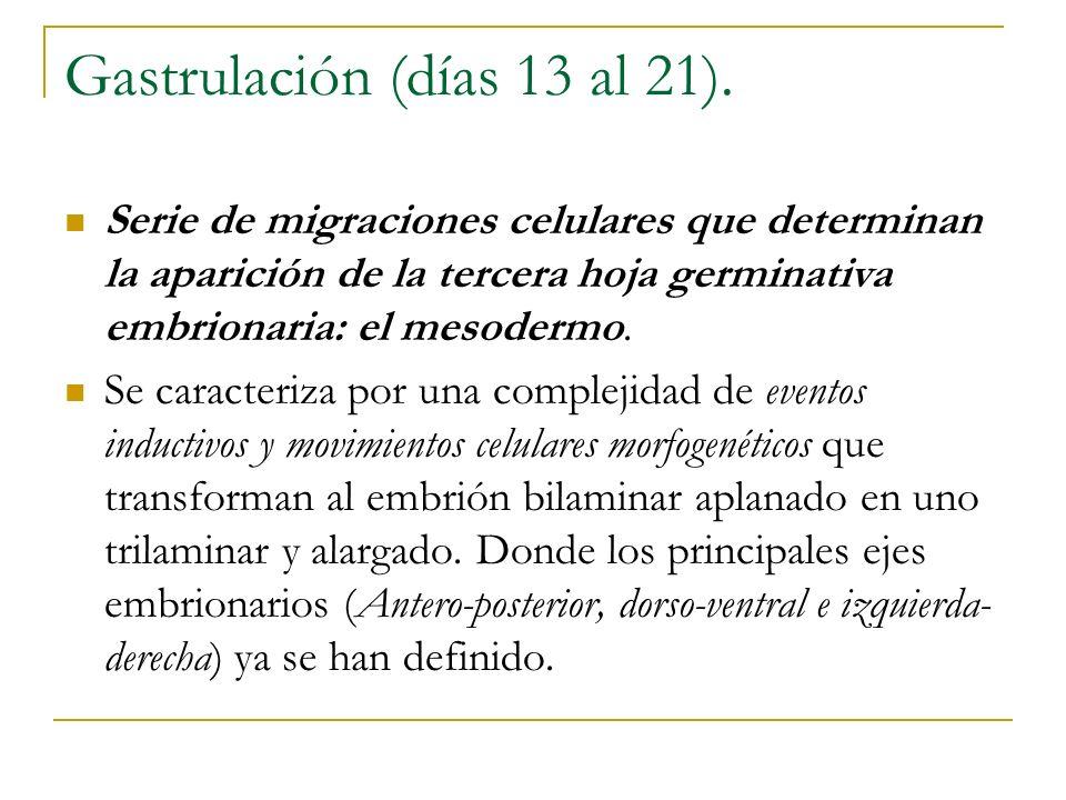 Gastrulación (días 13 al 21).