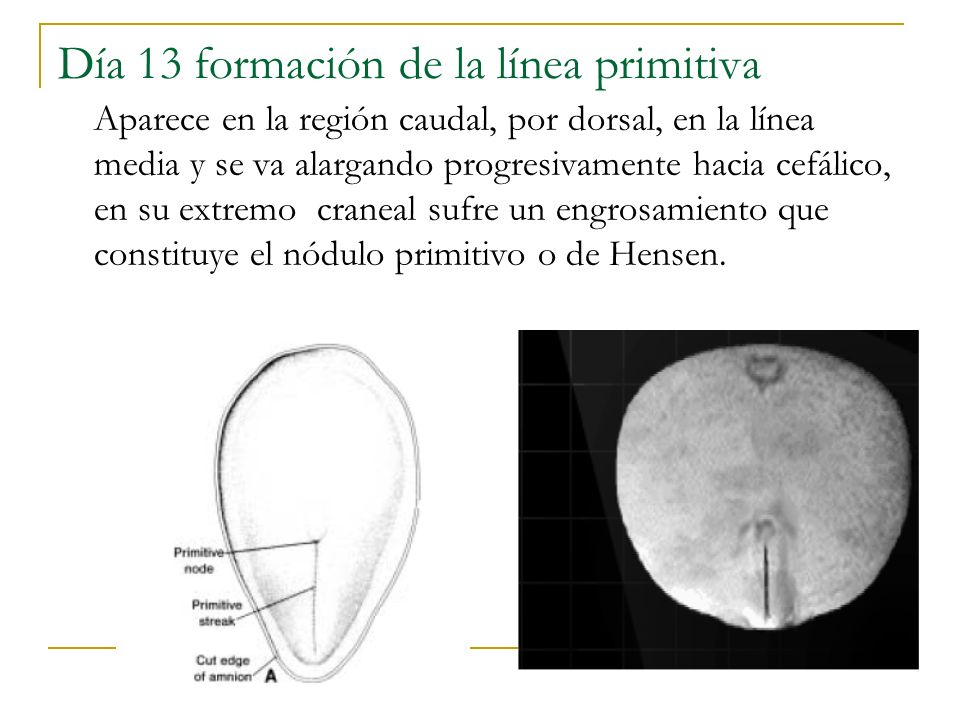 Día 13 formación de la línea primitiva