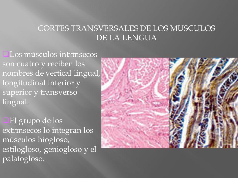 CORTES TRANSVERSALES DE LOS MUSCULOS DE LA LENGUA