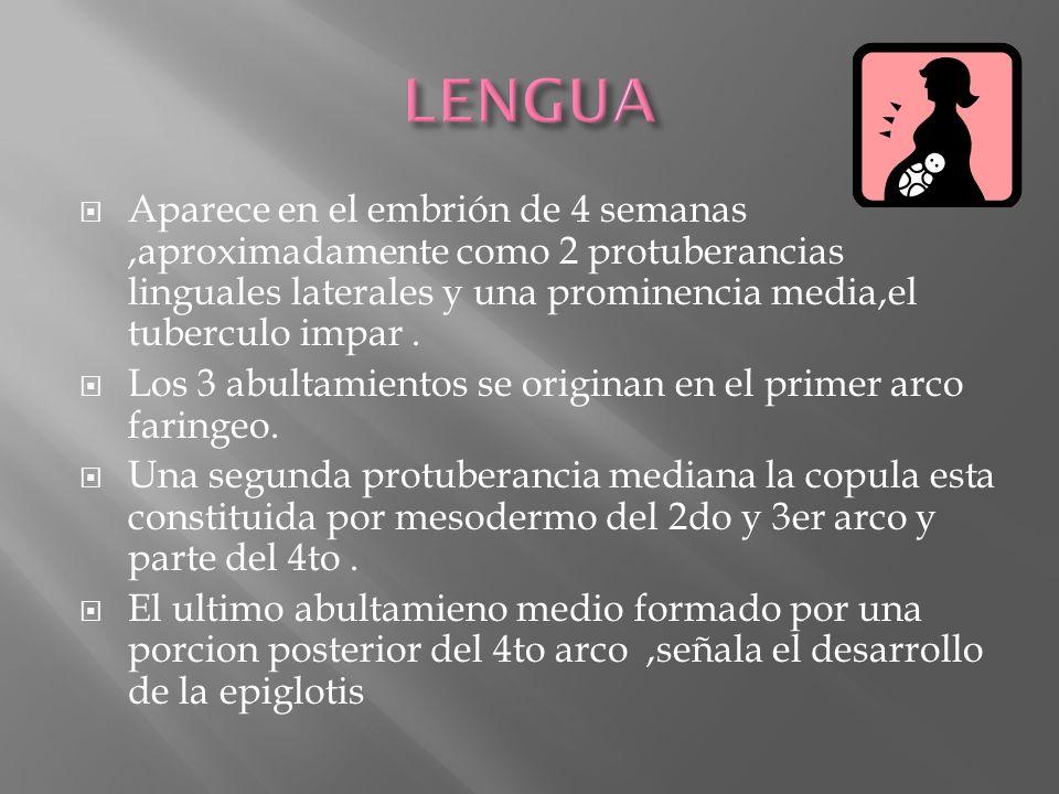 LENGUA Aparece en el embrión de 4 semanas ,aproximadamente como 2 protuberancias linguales laterales y una prominencia media,el tuberculo impar .