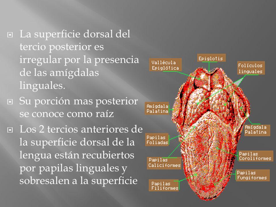 La superficie dorsal del tercio posterior es irregular por la presencia de las amígdalas linguales.