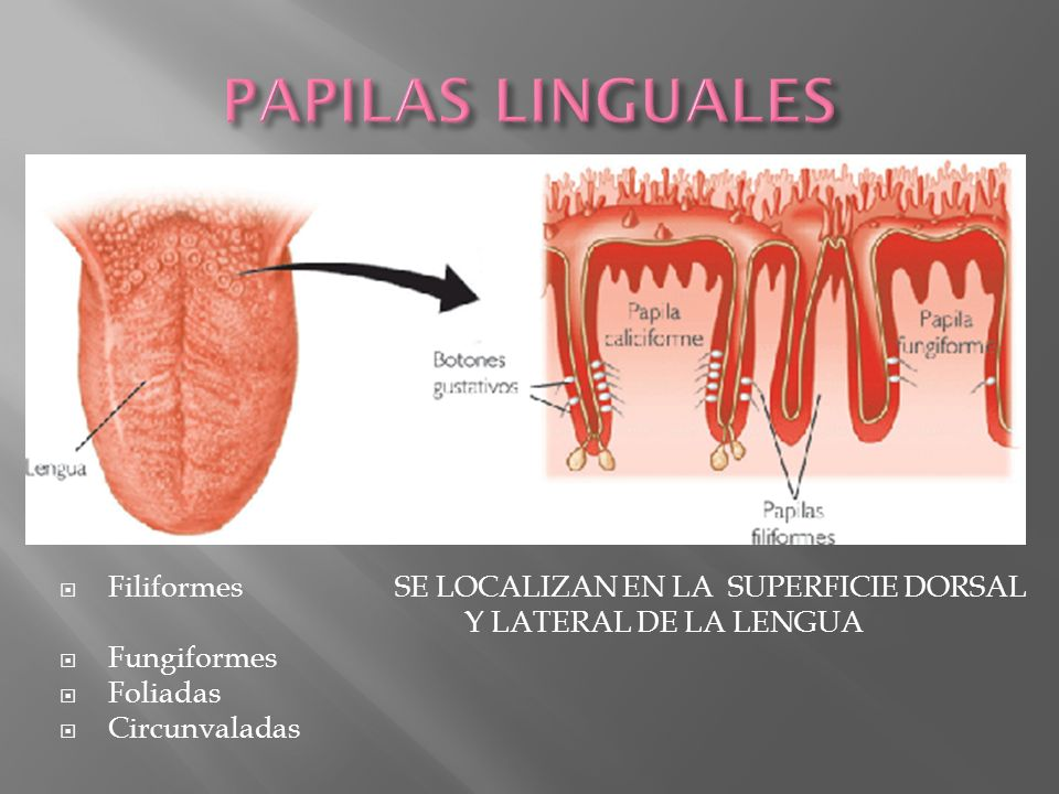 PAPILAS LINGUALES Filiformes SE LOCALIZAN EN LA SUPERFICIE DORSAL