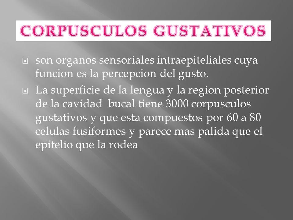 CORPUSCULOS GUSTATIVOS
