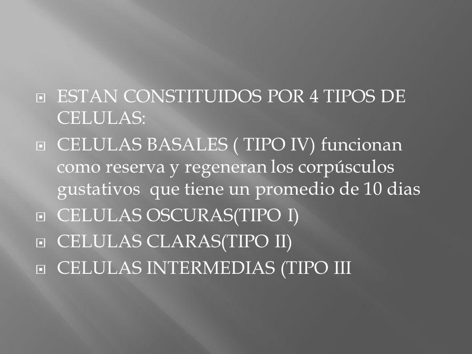 ESTAN CONSTITUIDOS POR 4 TIPOS DE CELULAS: