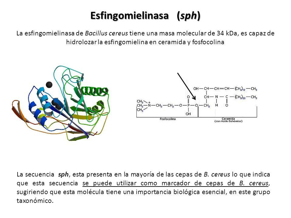 Esfingomielinasa (sph)