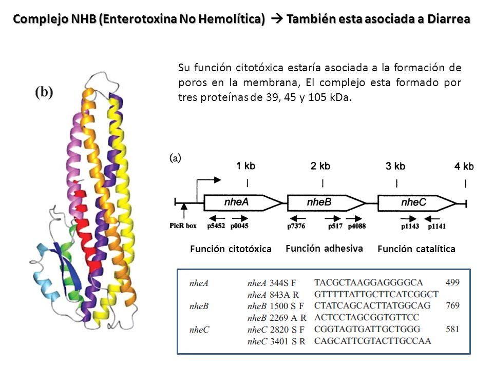 Complejo NHB (Enterotoxina No Hemolítica)  También esta asociada a Diarrea