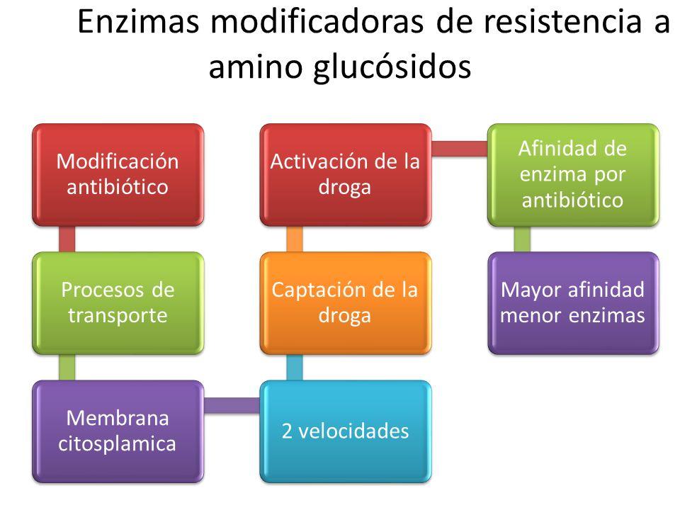 Enzimas modificadoras de resistencia a amino glucósidos