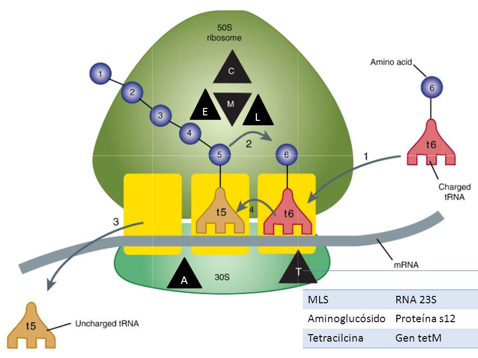 E L A MLS RNA 23S Aminoglucósido Proteína s12 Tetracilcina Gen tetM