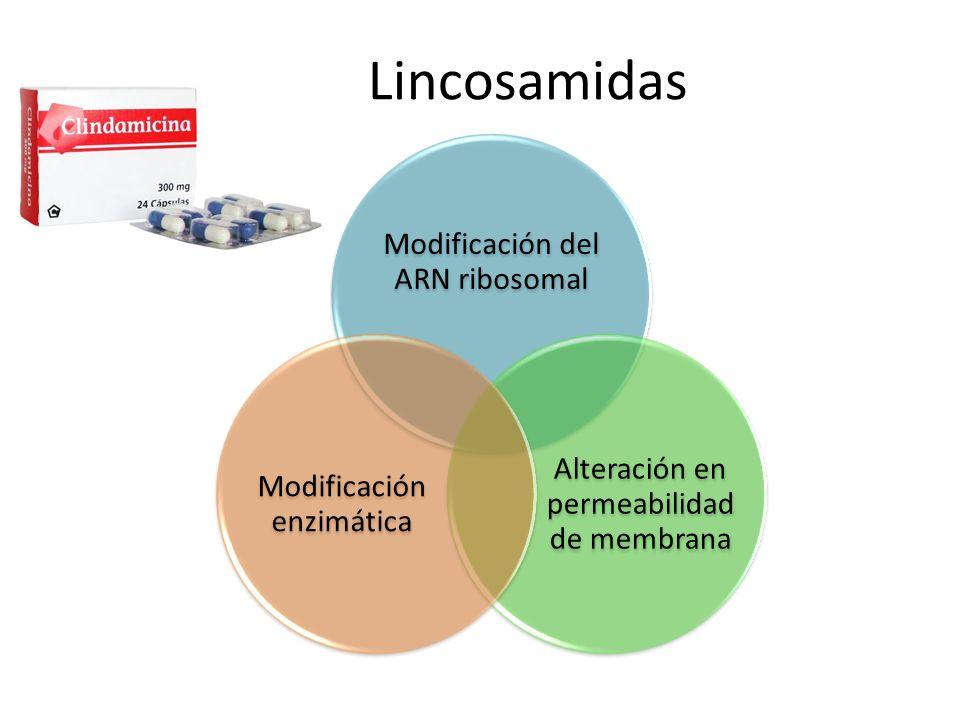 Lincosamidas Modificación del ARN ribosomal