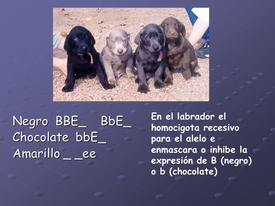 Negro BBE_ BbE_ Chocolate bbE_ Amarillo _ _ee
