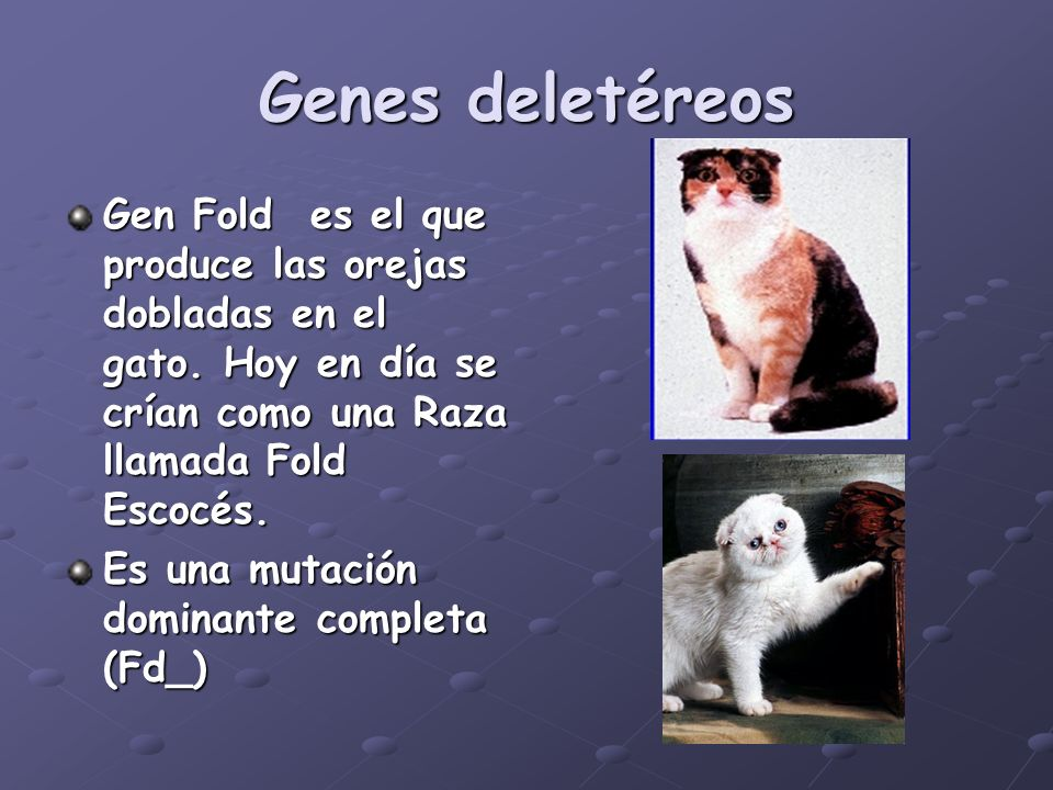 Genes deletéreos Gen Fold es el que produce las orejas dobladas en el gato. Hoy en día se crían como una Raza llamada Fold Escocés.