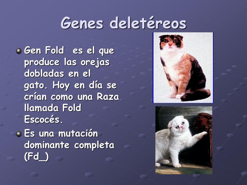 Genes deletéreosGen Fold es el que produce las orejas dobladas en el gato. Hoy en día se crían como una Raza llamada Fold Escocés.