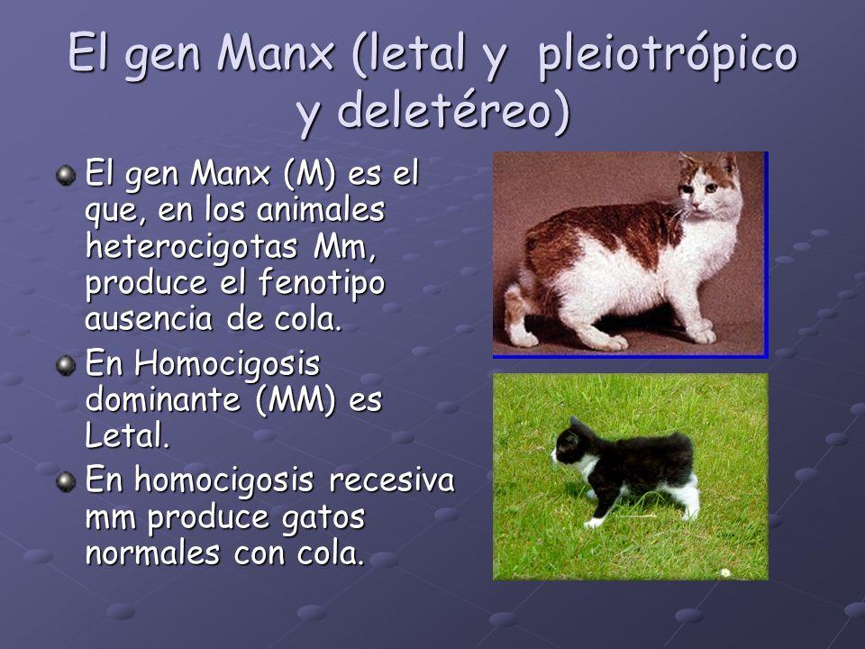 El gen Manx (letal y pleiotrópico y deletéreo)