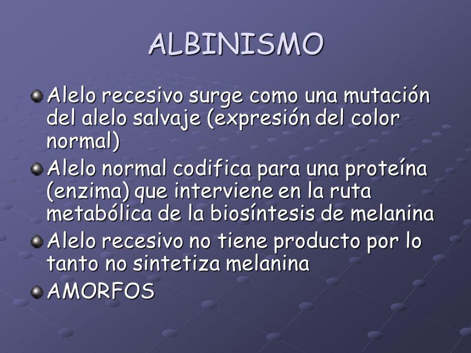 ALBINISMO Alelo recesivo surge como una mutación del alelo salvaje (expresión del color normal)
