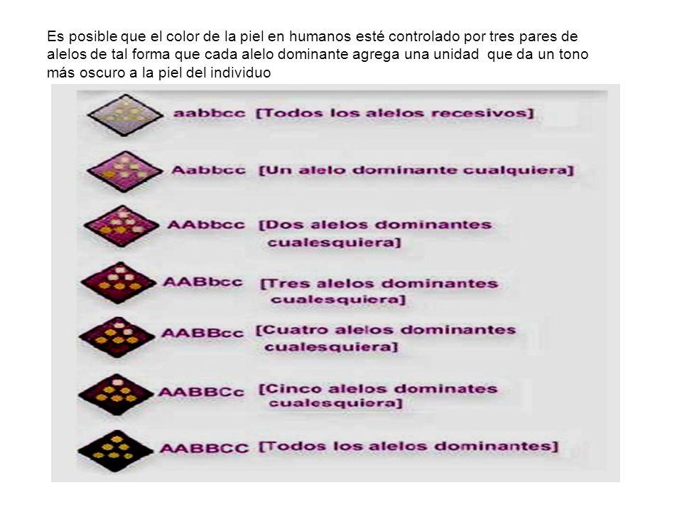 Es posible que el color de la piel en humanos esté controlado por tres pares de alelos de tal forma que cada alelo dominante agrega una unidad que da un tono más oscuro a la piel del individuo