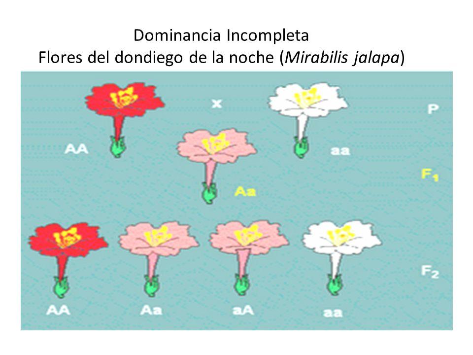 Dominancia Incompleta Flores del dondiego de la noche (Mirabilis jalapa)