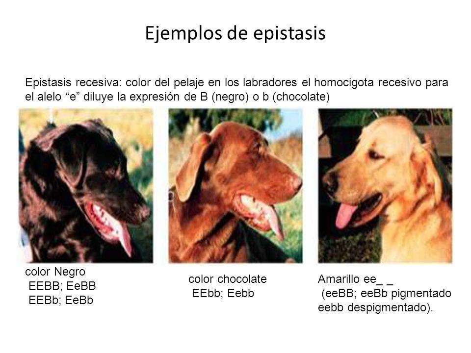 Ejemplos de epistasis